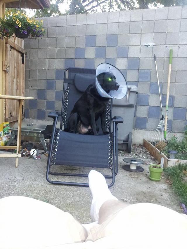 transmission-cours-chien-collerette-parabole-antenne