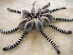 lemuriens-cercle-grosse-araignee