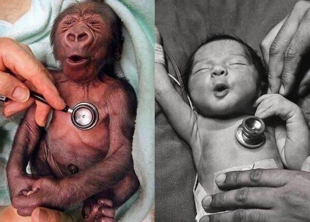 reaction-froid-bebe-gorille-bebe-humain