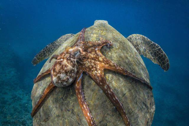 pieuvre-dos-tortue-geante