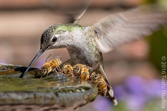 colibri-boit-eau-abeilles