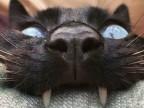 chat-vampire