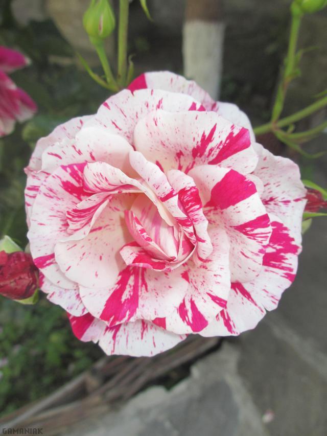 rose-sentimentale