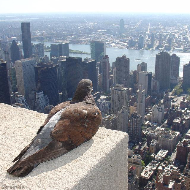 pigeon-cherche-prochaine-cible