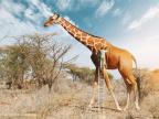 peindre-taches-girafe