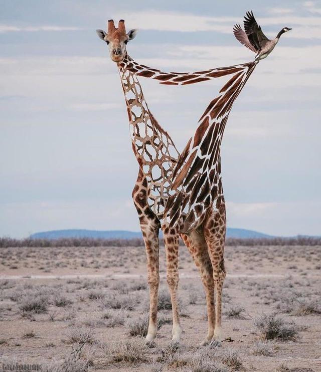 oie-tire-peau-girafe