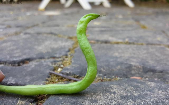 haricot-vert-serpent