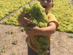 enorme-grappe-raisin