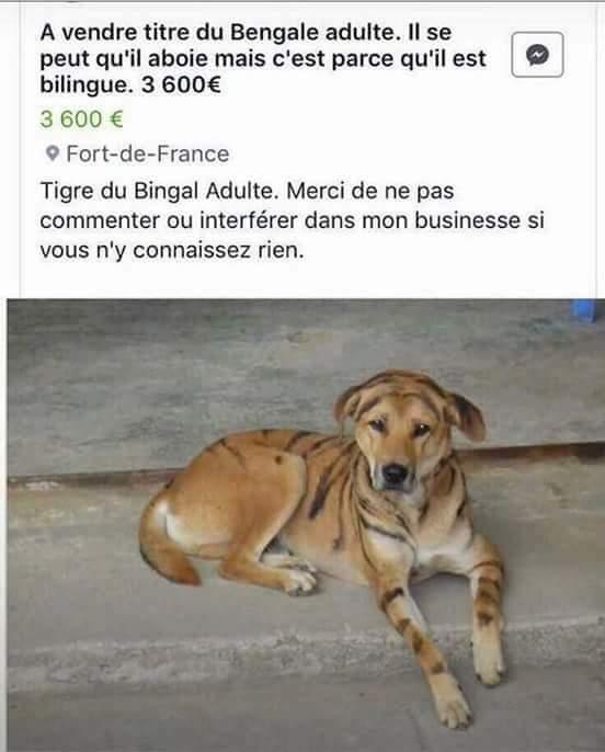 a-vendre-tigre-bengale-bilingue