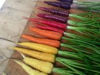 carottes-pleines-couleurs