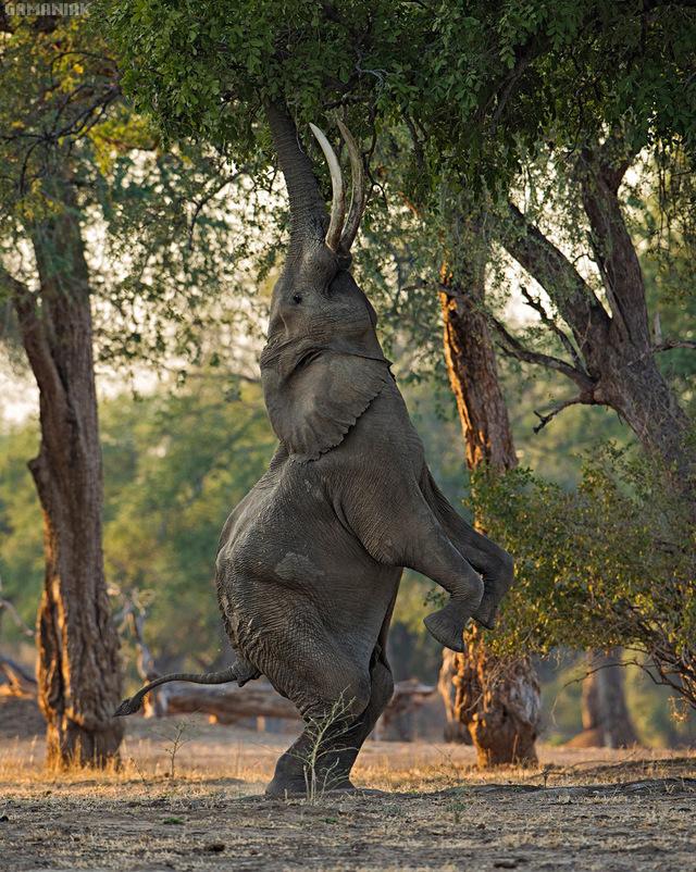 elephant-sur-2-pattes-manger-arbre