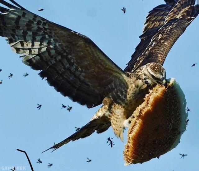 faucon-voleur-miel