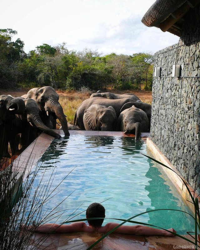 elephants-boire-eau-piscine-homme