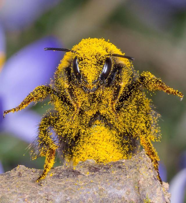 abeille-couverte-pollen