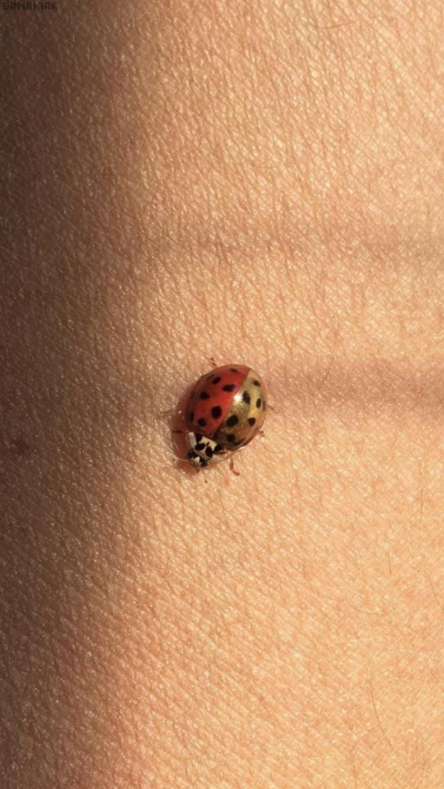 coccinelle-rouge-or
