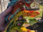iguanes-plusieurs-couleurs