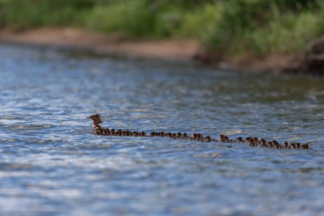 maman-canard-dizaines-canetons