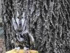 camouflage-hibou-devant-arbre