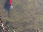 grenouille-sur-poisson-rouge