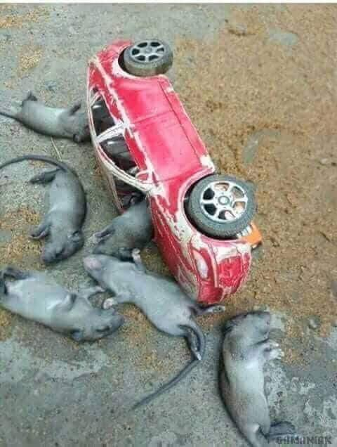 souris-mortes-accident-voiture