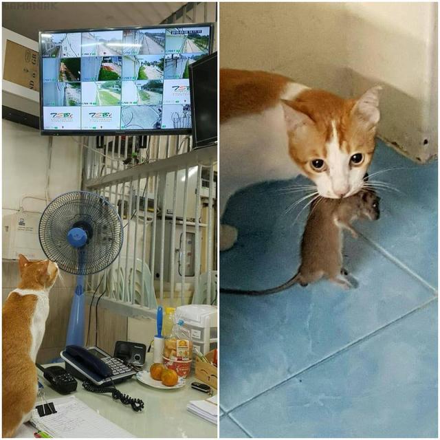 chat-cameras-surveillance-attraper-rat