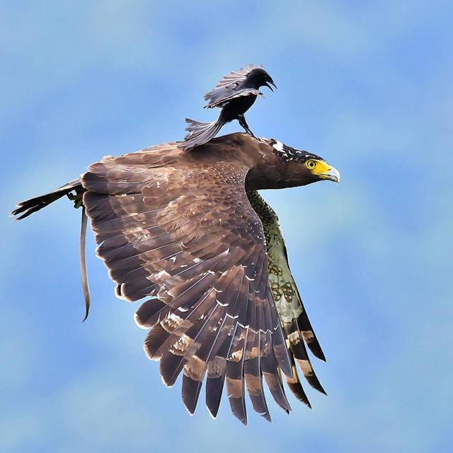 corbeau-aigle-vol