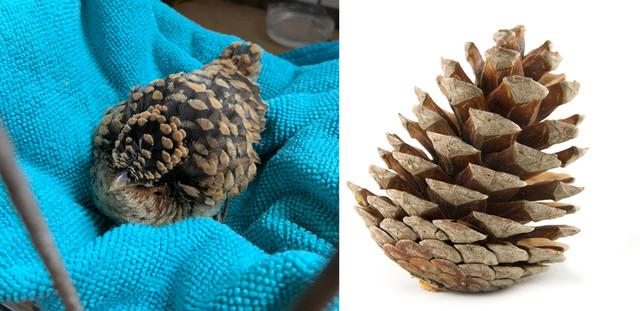 camouflage-oiseau-pomme-pin
