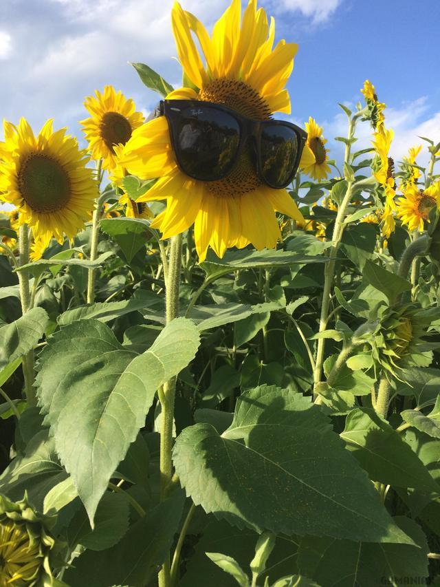 fleur-tournesol-lunettes-soleil