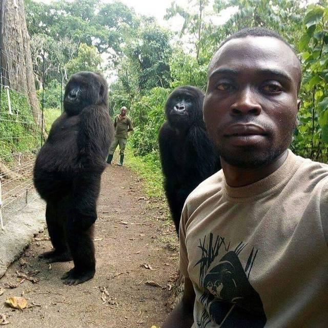 gorilles-tapent-pose