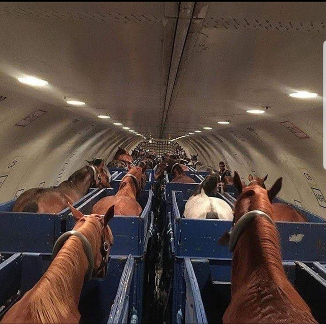 transport-chevaux-avion