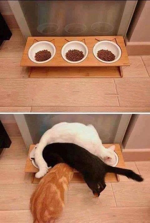 chats-savent-pas-manger