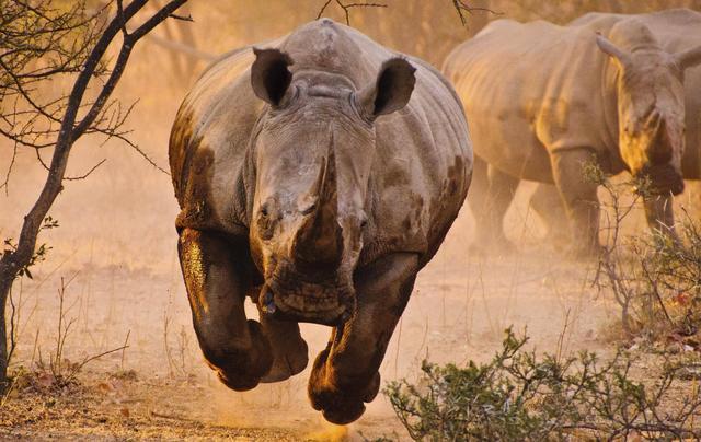 rhinoceros-charge