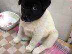 chien-tete-noire-corps-blanc