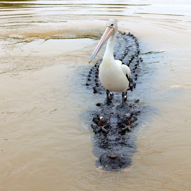 pelican-crocodile