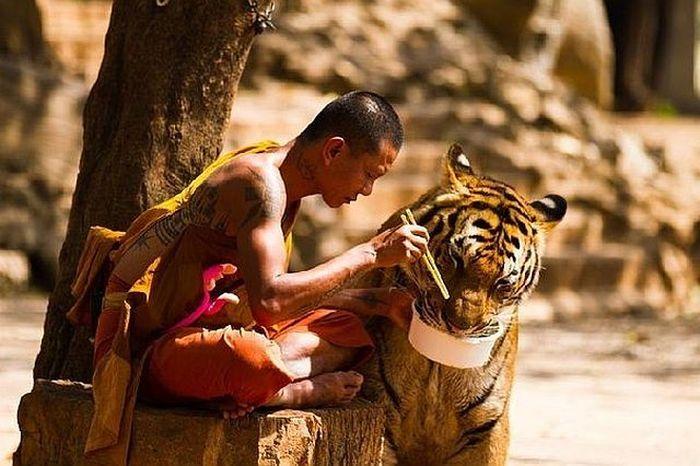 -tigre-lui-vole-son-bol