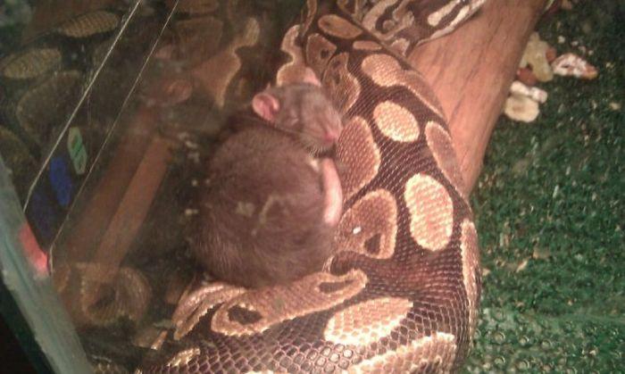 rat-dort-avec-serpent
