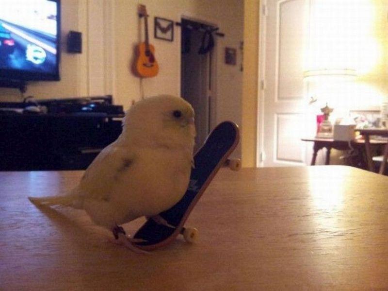 poussin-skateboard