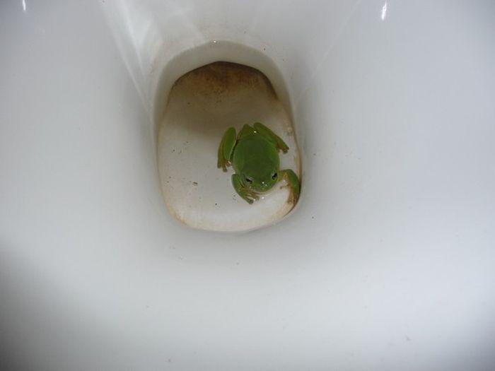 grenouille-toilettes