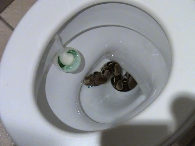 serpent-dans-les-toilettes