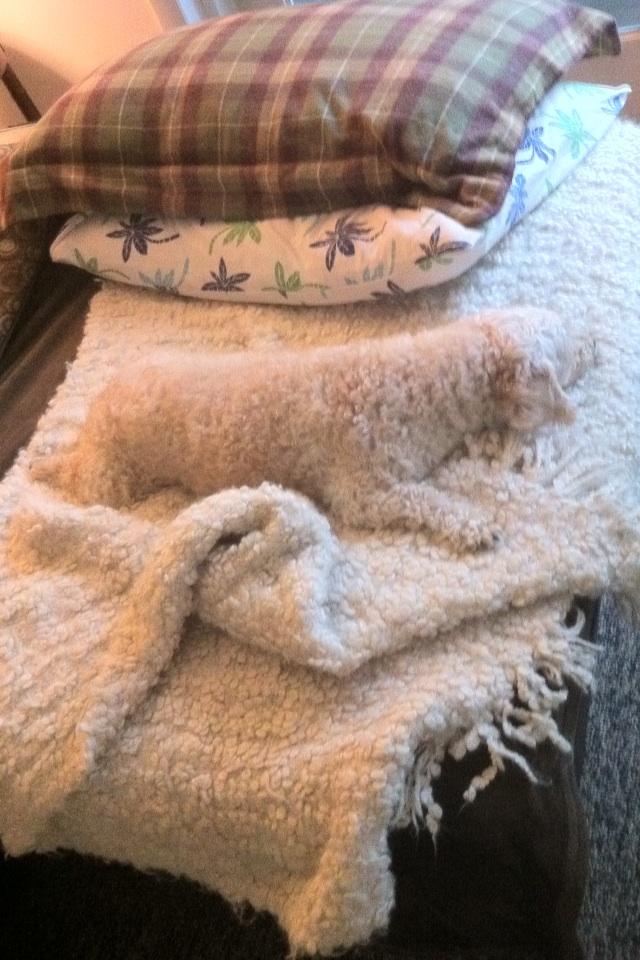 trouvez-chien-blanc
