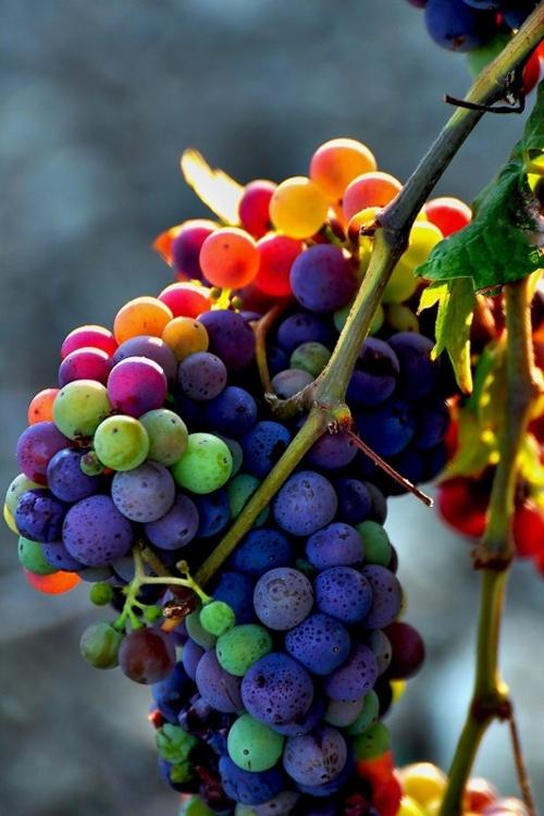 raisins-plusieurs-couleurs