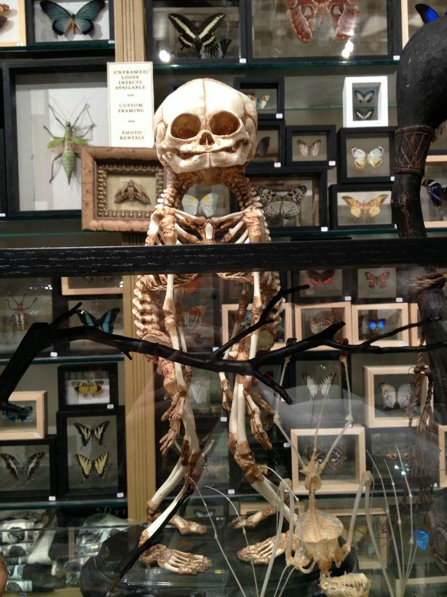 squelette-siamois