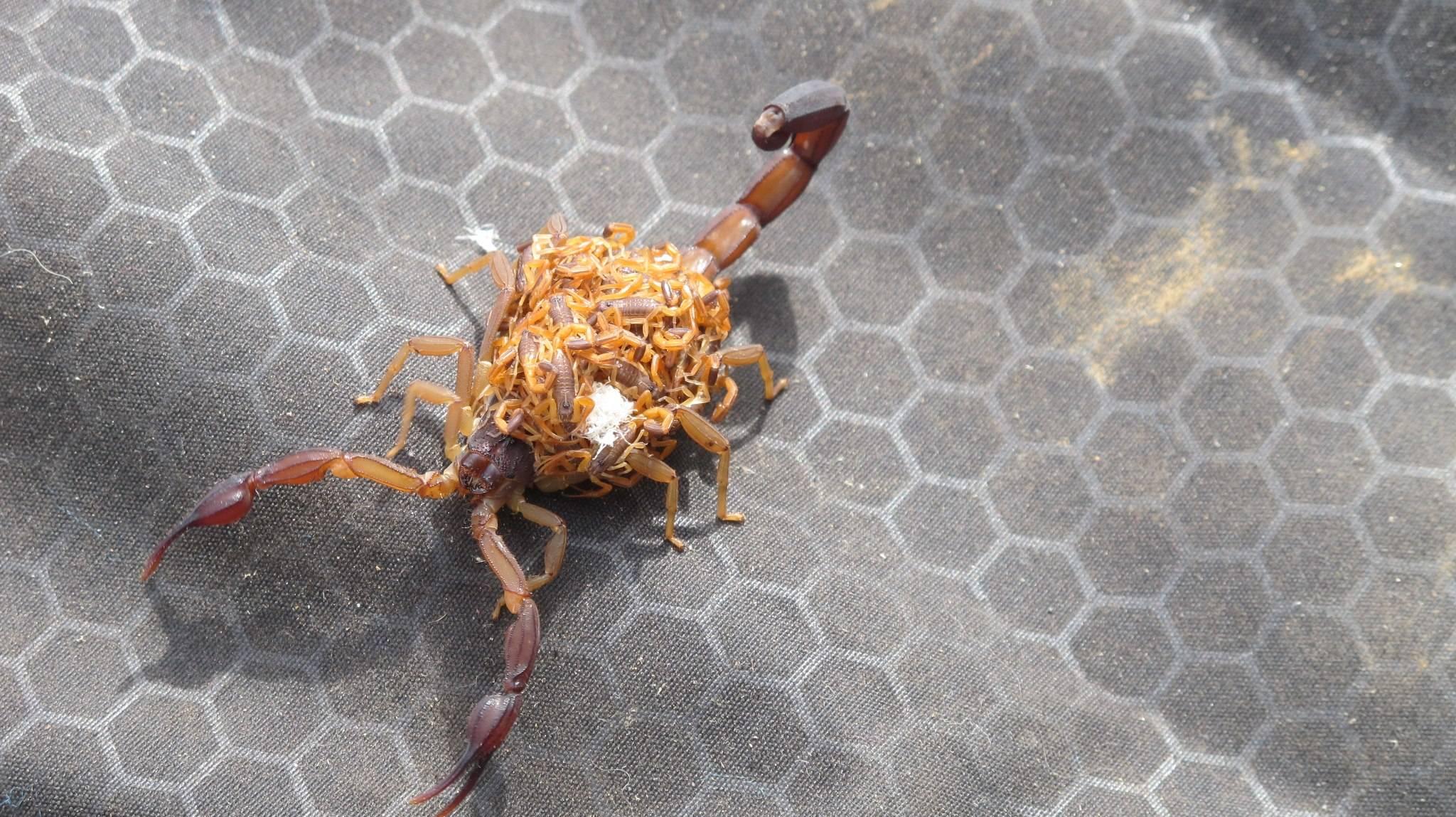 scorpion-porte-petits