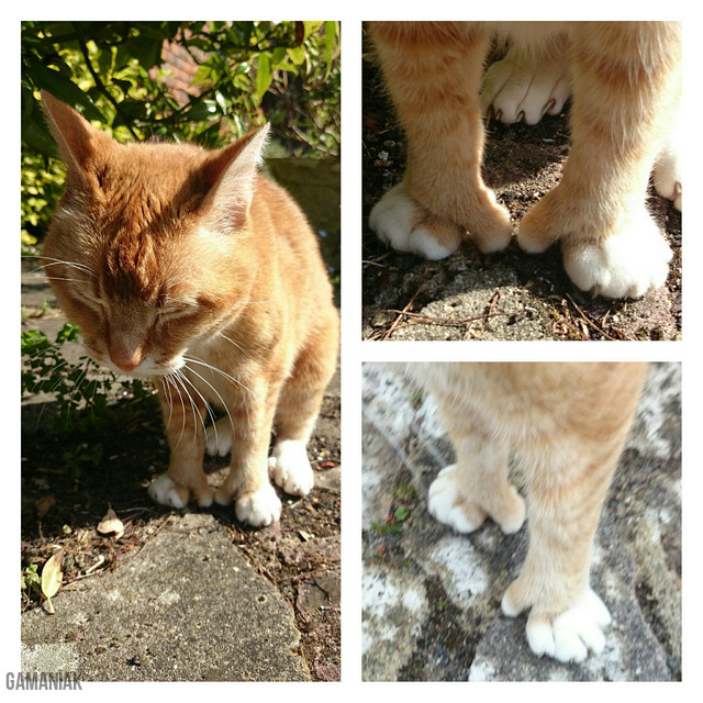 chat-polydactyle