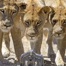 buggy-appareil-photo-lions