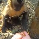 singe-fait-ecraser-feuilles-humain