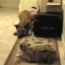 chats-laissent-pas-chiens-passer