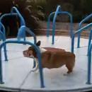 chien-court-tourniquet