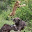 Un buffle envoie une lionne voler dans les airs