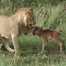 lion-protege-veau